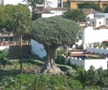 El Drago, Dragon Tree, Tenerife, ES